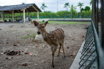 A young deer in Borobudur zoo