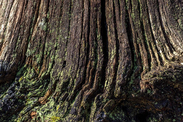 The natural background of rotten wood on very old tree stumps. The texture of the old stumps.