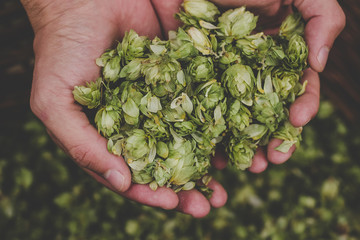 Green hops for beer. Man holding green hop cones
