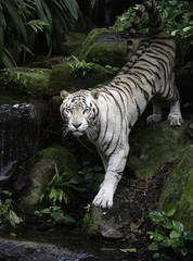 Tiger in a jungle. White Bengal tiger stands on a river bank with forest as background