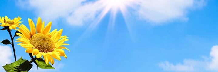 Fotobehang Zonnebloem sonnenblume, blauer himmel, banner