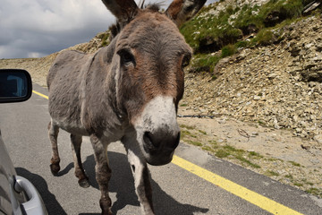 Romania, Transalpina. Road trip. view from car window. Donkey.