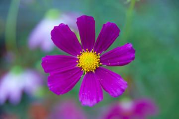 Cosmos bipinnatus lilac