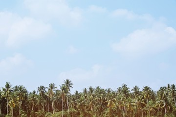 Beautiful coconut palm trees farm Leave space copy write a message in the sky. perspective view with filter Tones vintage effect ,Warm tones. beautiful summer tropical landscape background.