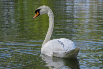A white swan in the lake