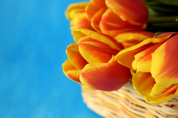 Red tulips in a wicker basket on blue background. Copy space