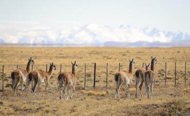 Guanacos Salvajes en los Campos de Patagonia