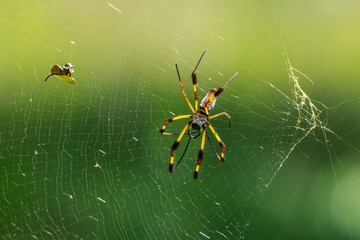 Banana spider and its sparkling web!