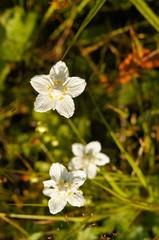 Parnassia grass of parnassus or bog-stars white flowers