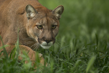 Fotobehang Puma Mountain Lion Stalking