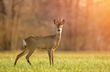 Wild roe deer in early morning