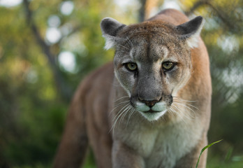 Deurstickers Puma Mountain Lion Stare