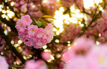 closeup of cherry blossom flowers