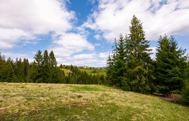 meadow among the spruce forest