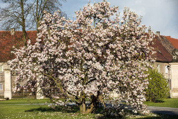 Blooming magnolia tree in April in the garden
