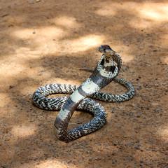 King Cobra snake.