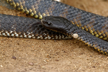 Tiger snakes (Notechis scutatus) are a venomous snake species found in the southern regions of Australia, including its coastal islands, such as Tasmania.