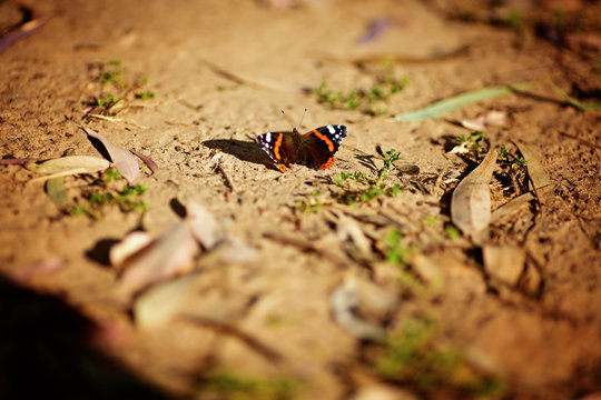 Butterfly on dry cracked earth. Lasiommata megera.