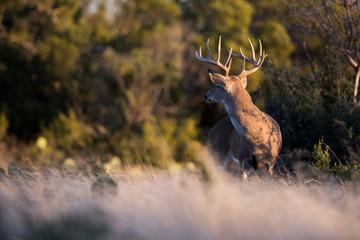 Poster Deer White-tailed Deer Large Buck