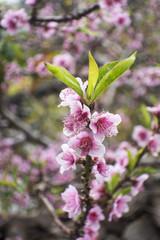 Nahaufnahme von einem Mandelbaum in Blüte