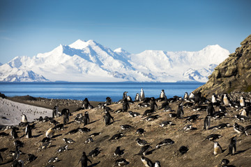 Thousands of Chinstrap Penguins nest on the hills above Bailey Head on Deception Island, Antarctica. The colony is drastically losing population numbers because of climate change and krill overfishing