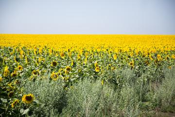 sunflower field in nice summer day