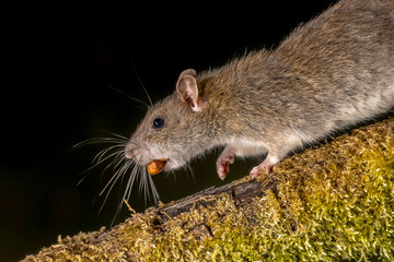 Wild Brown rat with nut