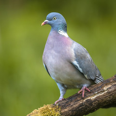 Wood pigeon green background
