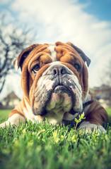 Portrait of cute English bulldog,selective focus