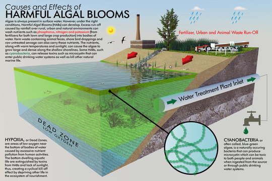 A large format ecological illustration with descriptive text. The infographic depicts the causes and effects of Harmful Algal Blooms (HABs) with a three dimensional cut-away of a typical shoreline.