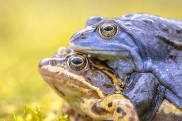 Moor frog couple