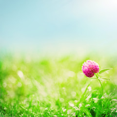 Bright summer background with clover flowers