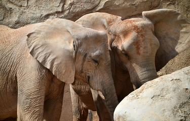 elefante en africa