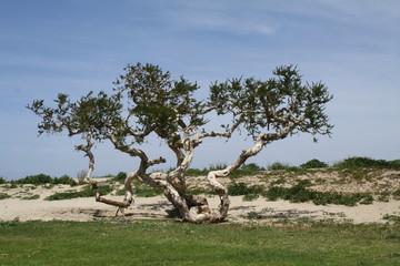 Wind dwarfed Melaleuca tree