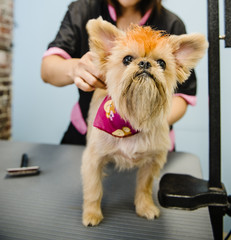 Terrier being groomed