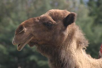Camellos en Antalya , ciudad  en la costa mediterránea del suroeste de Turquía