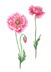 Pink poppies, watercolor drawing on white background, isolated with clipping path.