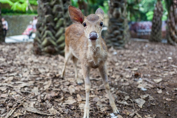 Deer at Bali Zoo in Indonesia