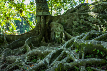 Roots of tree at the Goa Gajah cave in Bali