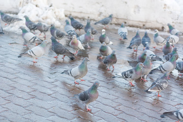 Pigeons on the town square in the spring