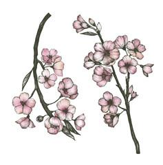 Hand drawn of sakura flower