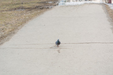 Pigeon on a wet city square in the spring