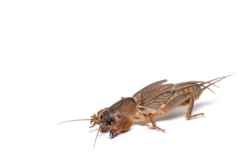 The mole cricket isolated on white background.