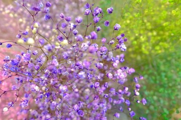 colorful purple and green Gypsophila in full blossom creamy style