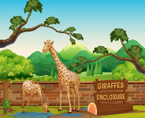 Two giraffes in the zoo