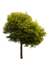A big tree isolated on white background