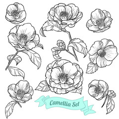 Set of camellia. Vector illustration