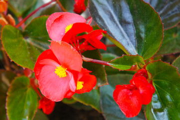 begonia semperflorens bada bing scarlet red flowers with green