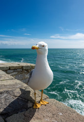 Seagull on the Cliff - Liguria Italy