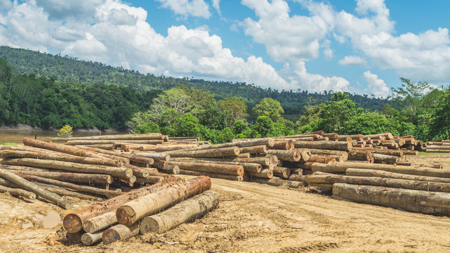 log yard of peeled tropical rain forest hardwood, Borneo, Indonesia. forestry and industrial background